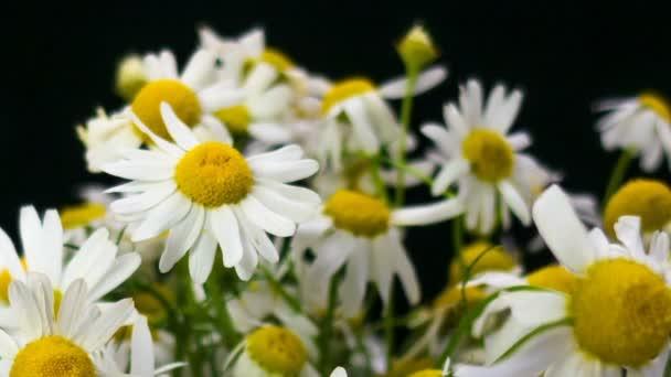 Květiny bílých krásných heřmánků. Kytice polních sedmikrásek. Detailní záběr. Letní heřmánky. Bylinkové květiny. Rozkvetlé heřmánky. Makro