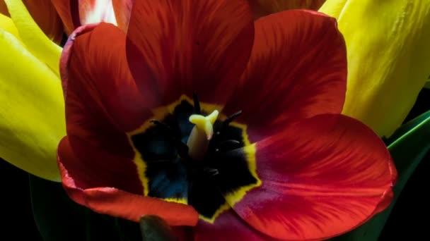 Tulipani. Timelapse di rosa brillante a righe colorate tulipani fiore fioritura Time lapse mazzo di tulipano di fiori primaverili di apertura, primo piano. Bouquet da vacanza. macro