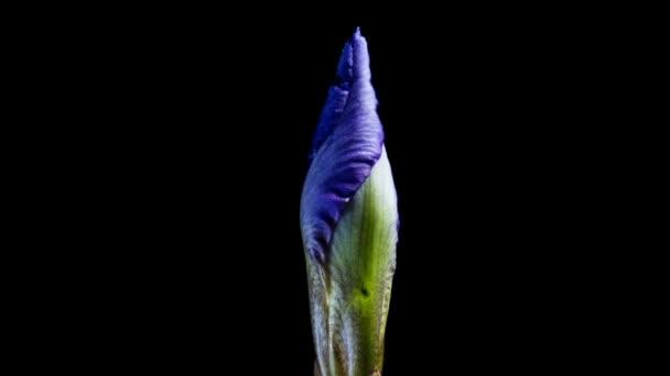 Time-lapse of growing blue iris flower. macro