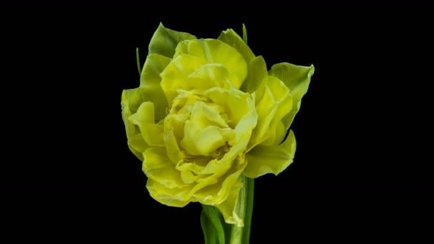 Tulipánok. Timelapse élénk rózsaszín csíkos színes tulipán virág virágzás Idő lapse tulipán csomó tavaszi virágok nyitó, közelkép. Ünnepi csokor. makroszintű