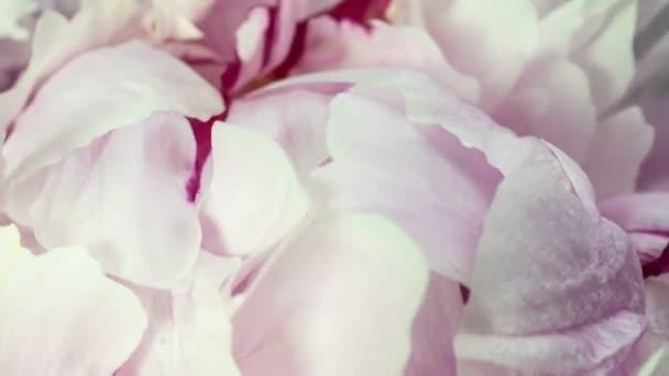 Krásné růžové pivoňkové pozadí. Kvetoucí pivoňka otevřená, časový skluz, detailní záběr. Svatební pozadí, Valentýnský koncept. Časová osa videa 4K UHD