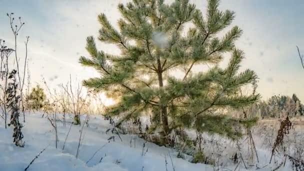 Schneefall mit Hyper-Zeitraffer aus einer wunderschönen Winterlandschaft, eine junge Kiefer vor einem wunderschönen Winterhimmel