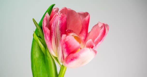 Timelapse egy világos rózsaszín kettős bazsarózsa tulipán virág virágzik fehér háttér