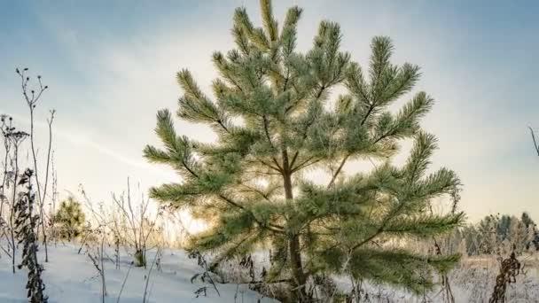 Zeitraffer einer wunderschönen Winterlandschaft, eine junge Kiefer vor dem Hintergrund eines wunderschönen Winterhimmels