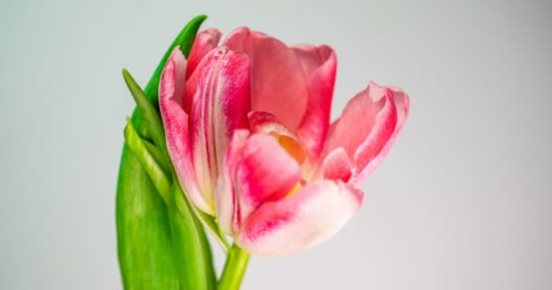 Timelapse of a light pink double peony tulip flower blooming on white background