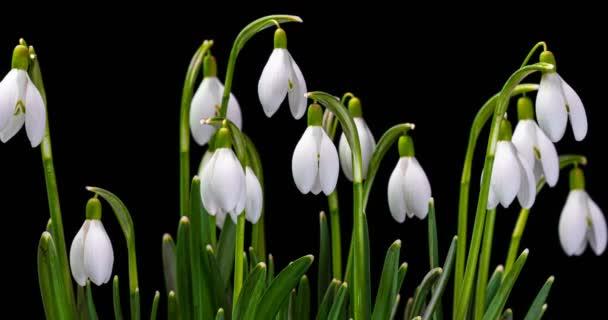 közelkép halom tavaszi hóvirág és virágzik a sötét háttérben, időeltolódás jelenet. alfa-csatorna
