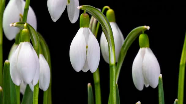 closeup heap of spring snowdrop flowers and blooming on a dark background, time lapse scene. alpha channel