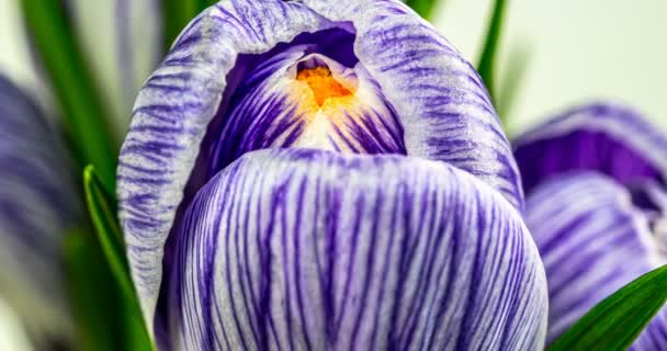 Timelapse blooming crocuses isolated on white. Close-up: purple crocus flowers and buds, green leaves. macro. 4k