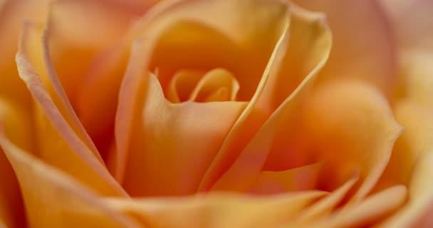 Schöne Creme gelb rosa Rose Hintergrund. Blühende Rosenblüte offen, Zeitraffer, Nahaufnahme. Hochzeitskulisse, Valentinstag-Konzept. 4K, Video-Zeitraffer