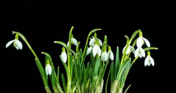 kytice jarního galantu na černém pozadí, jarní sněhové vločky, časový odstup