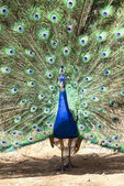 Photo beautiful peacock with outspread feathers