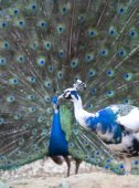 Photo beautiful peacocks with outspread feathers