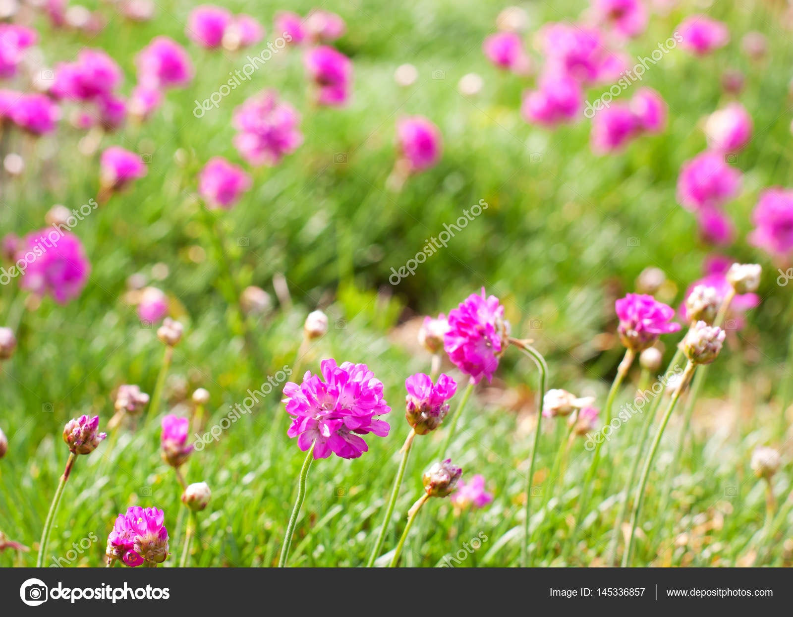 Pink Purple Flowers In The Green Grass Stock Photo Alexmia