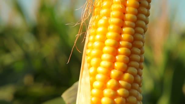 Palic zrna rostlin Zea mays v zemědělské oblasti