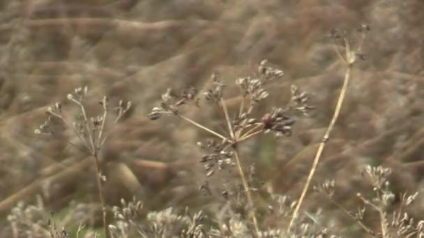 Érett köménnyel Carum carvi növény előtt a betakarítás terén, nagyon jó fűszer a konyhában, nagyon aromás illata, a mezőgazdaság, Európa, Európai Unió