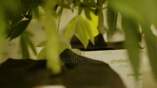 Výzkumný vědec lékařské konopí k léčebným účelům, růst pěstování konopí marihuana re zaměření, rockwool substrátu