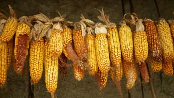 Kukuřice suché cob ucho visí Zea mays zralý čerstvé rostliny zemědělské pole, kukuřice obilí visí sucho sušené, zemědělství zemědělství zlaté žluté ornament podzim, krmení pro domácí skot