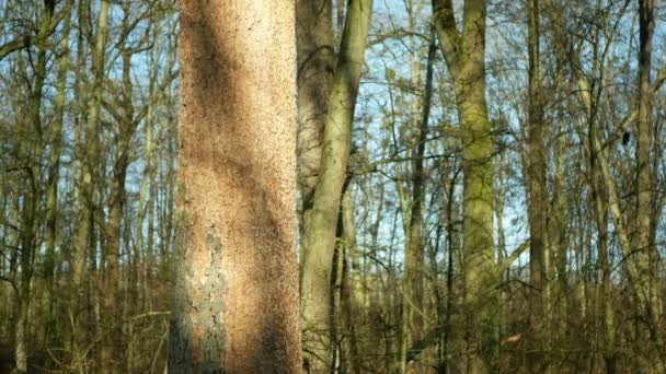 Deciduous oak forests infested drought dry and attacked by the European bark beetle pest Xyleborus monographus ambrosia, Scolytus intricatus and Platypus cylindrus oak pinhole borer
