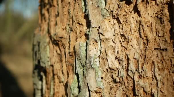 Oak bark forests infested drought dry detail close-up deciduous attacked European beetle pest Xyleborus monographus ambrosia, Scolytus intricatus Platypus cylindrus oak pinhole borer