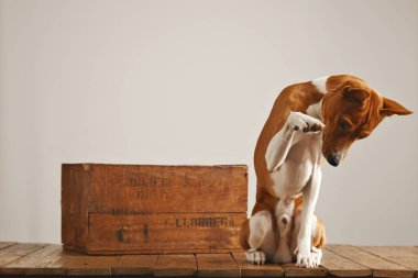 Dog playing near a vintage wooden box