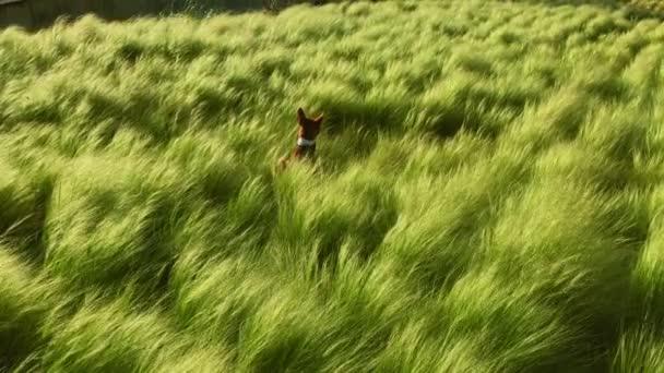 ein brauner Basenji-Welpe spielt im Gras