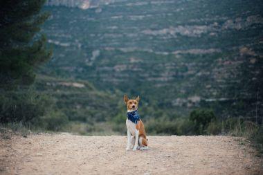 basenji dog with blue collar bandana
