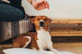 Fotografia Basenji cane e proprietario a casa