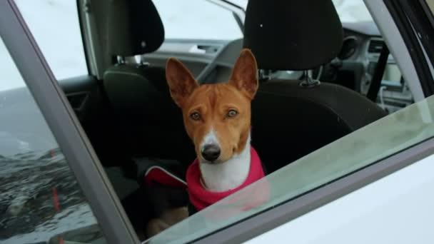 Roztomilé hnědé štěně se dívá z okna auta