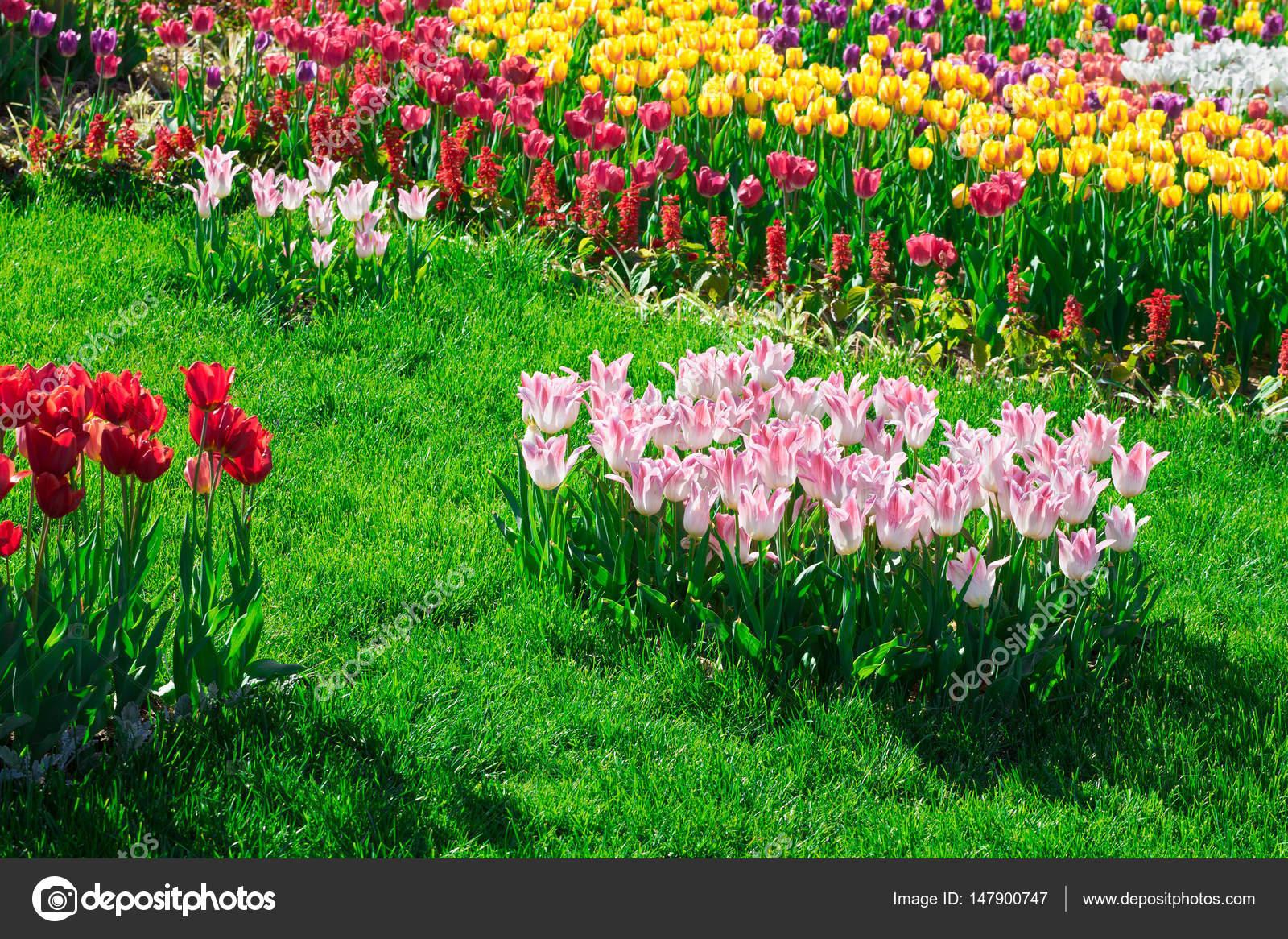 Tulips blooming flowers field green grass lawn in beautiful spring tulips blooming flowers field green grass lawn in beautiful spring garden in the backlight izmirmasajfo