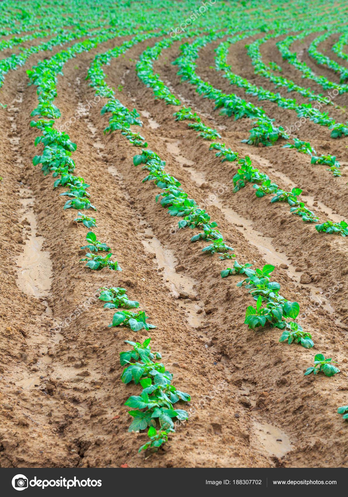 Coltivazione Piante Patate Dolci O Anche Il Nome (boniato, Tropicale Della  Patata Dolce, Patata Dolce Cubana, Batiste, Camote, Igname) In Un Terreno  Rosso ...