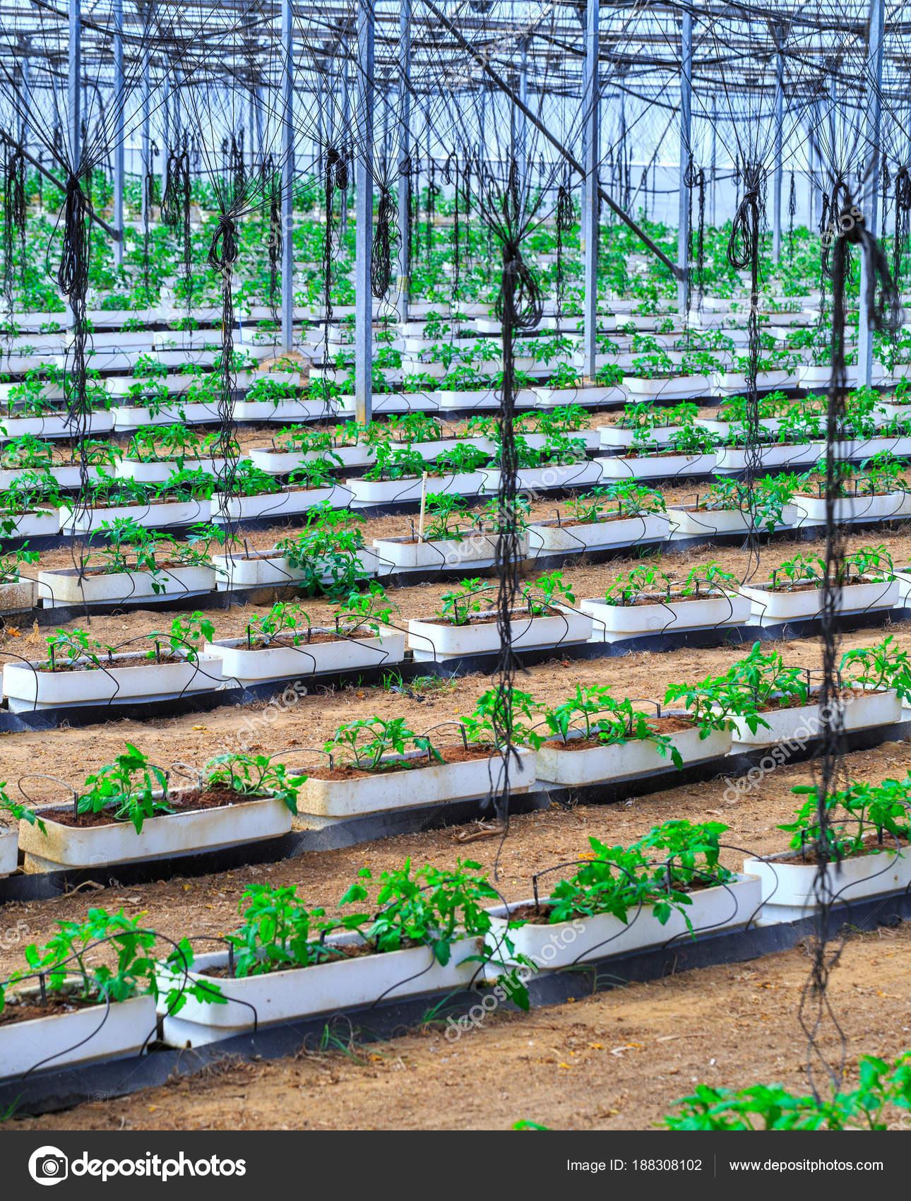 Plantes A Fleurs De Tomates Qui Poussent Dans Les Pots A L