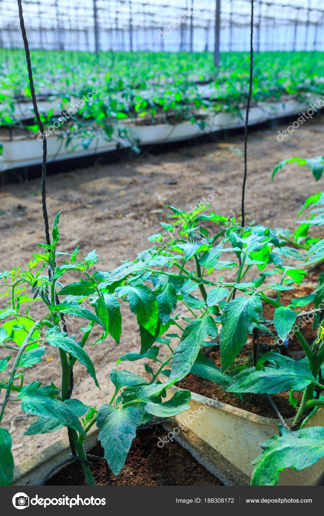 Plantes à Fleurs De Tomates Qui Poussent Dans Les Pots à L