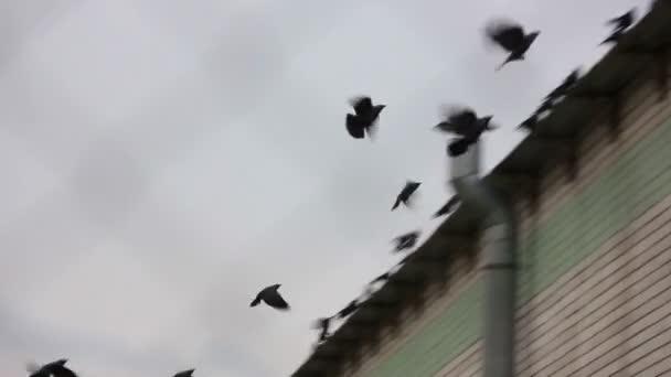 Schar von Rabenvögeln fliegt davon