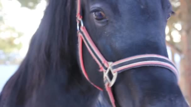 Fekete ló legelészik