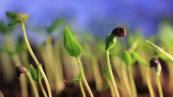 Kis zöld növények termesztési idő telik el