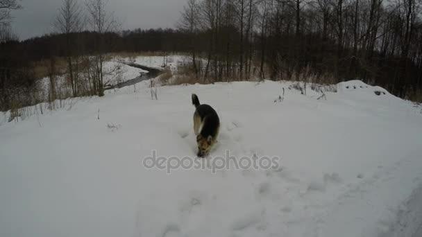 Ovčácký pes v zimě sníh