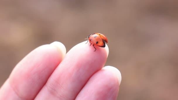 Katica kézzel csúszó katicabogár makró