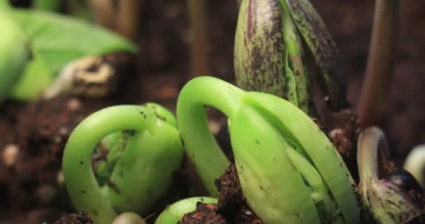 Small Green Growing Haricot Bean Plants Growth Lapse