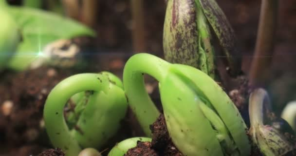 Germination Bean Seeds Growing Plants Sprout Grow