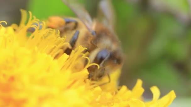 Biene sammelt Necker aus gelber Blüte aus nächster Nähe