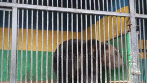 Käfigtiere, Gefangenschaft, Braunbär im Käfig leidet beim Gehen