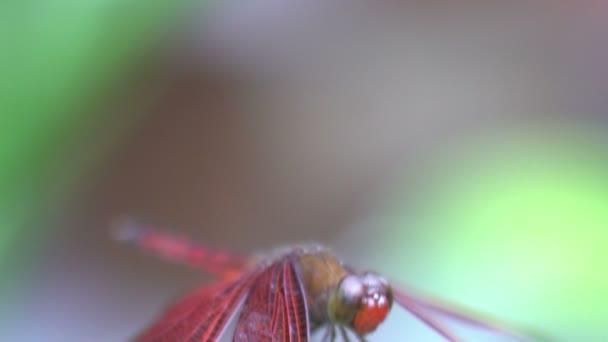 Pohyb červeného draka létat zblízka střílel makro, tropický hmyz, bali Indonésie