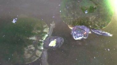 Small turtle swimming in aquarium