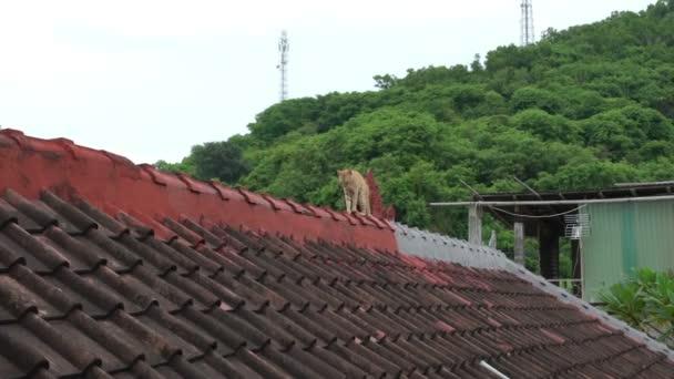 rot gestromte obdachlose Katze läuft auf dem Dach, asia bali indonesien
