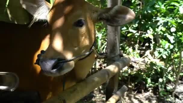 Süße rote kleine indonesische kuh gesicht zur kamera lustig