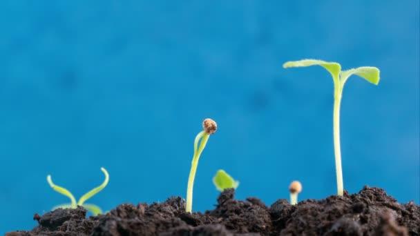 Nádherná Zelená příroda rostliny klíčící evoluce klíčky z osiva, pěstování v zemi zemědělství koncepce, jarní nebo letní timelapse, pohybující se na slunci, na modrém pozadí