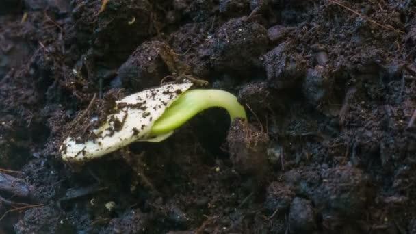 gekeimtes Saatgut keimende Pflanze, die kleine Sprossen aus dem Boden sprießt Landwirtschaft Konzept Frühling Sommer Zeitraffer