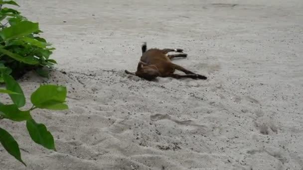 Zábavné zvířecí malá hnědá koza při pohledu na fotoaparát hraje v písku