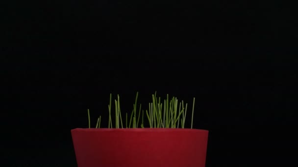 small plant pot, green grass, growing plants, germination, spring time lapse, isolated on black