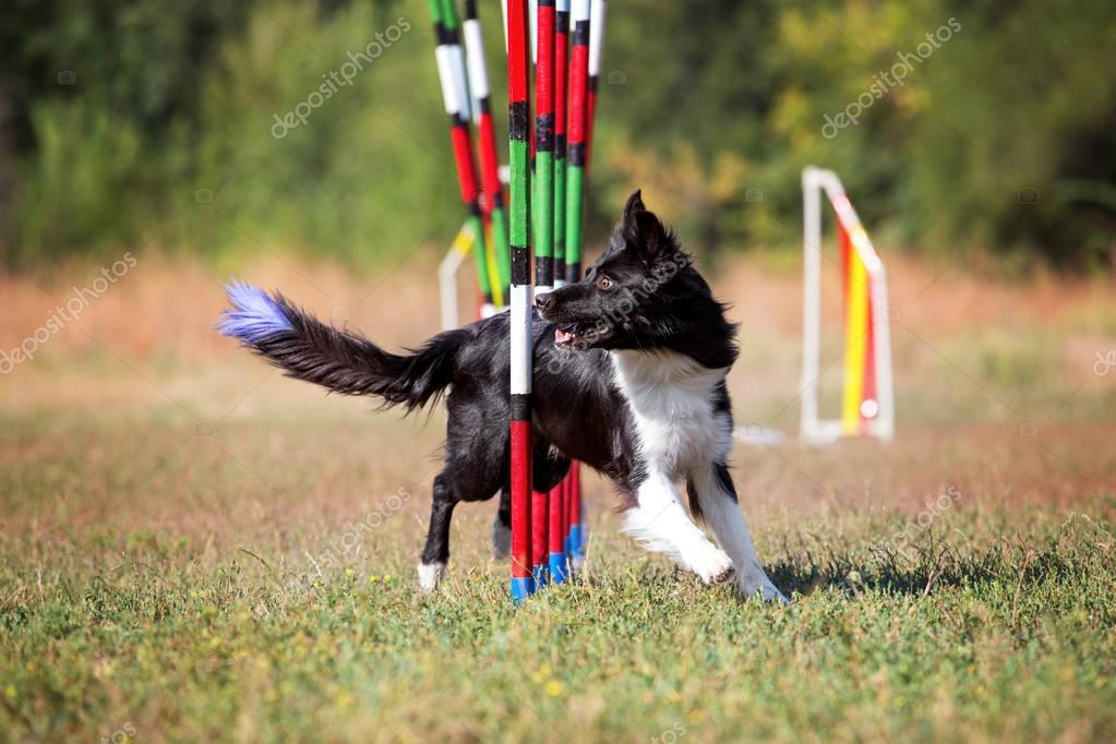 Sport for dogs agility obstacle slalom. Dog breed Border Collie takes part in agility competitions.